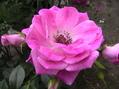 """薔薇咲爺爺"" favorite roses! !"