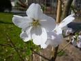 ソメイヨシノが咲いています