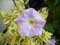 アサリナが咲きました(^^♪