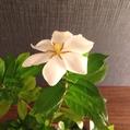 今年も咲いてくれました 〜クチナシ〜 [i:148]