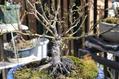 ミニバラ盆栽