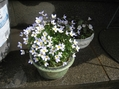 イワウチワが咲きました