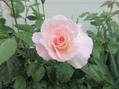 6月の薔薇