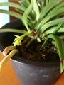 風蘭と胡蝶蘭💠✨