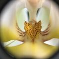 胡蝶蘭の突起