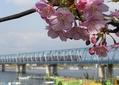 河津桜と地下鉄東西線