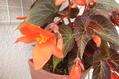 今日のお花たち(ベコニア)