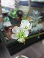 ハエトリソウのお花