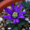Hesperantha cucullataとAnemone blanda