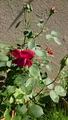 二番花が咲きました(*゚▽゚)ノ(※虫写真あり注意)