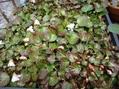 山野草 大株「岩うちわ」咲き始めました。