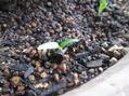こぼれ種のトウガラシ