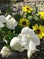 心地よく開花、マシュマロウ