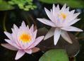 ダブル開花………と見せかけて