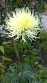 アザミの花に似た花が、、、、