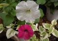 ミニバラさおり、ペチュニア、白花モミジアオイ