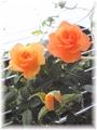 オレンジのミニバラ