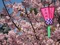 大垣公園の河津寒桜