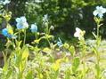 白花のヒマラヤの青いケシ