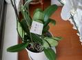 胡蝶蘭 室内に飾りました