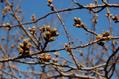 桜の開花情報(3/31現在)