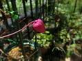 クレマチスの2番花