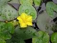 アサザ・ガガブタが咲きました。