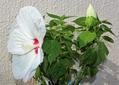 クサフヨウ咲く