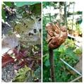 我が家の菜園にバッタ、蝉の脱け殻!