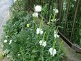 夏の花 トラノオ
