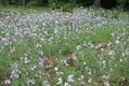咲いています。180716-2