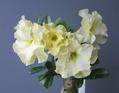 八重咲きアデニウム