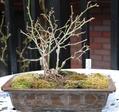 ミニバラ盆栽 小品