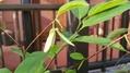 アテモヤの花