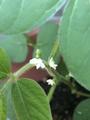 枝豆の花が咲いたよ٩(๑>∀<๑)۶わーい