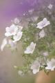 開花写真、ニーレンベルギアほか