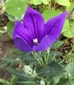 桔梗の開花💜