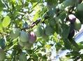 プルーン、梅干し、挿し木