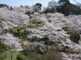 桜と菜の花と・・・