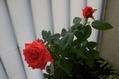 ドフトヴォルゲが咲いた