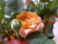 ムシトリスミレ花盛りです。