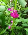 今日の花 ('18.7.23)