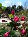 海棠もうすぐ花開きます