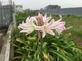 クリナム'花櫛'
