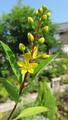 灼熱の庭で細々咲き続ける🌸~2