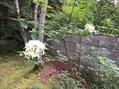 白い花の木 2018.8.11