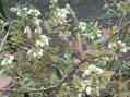 ブル-ベリ-の花が咲く