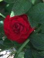 今日のバラ  0815