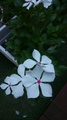 ☆小庭の白い花たち☆