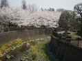 桜と菜の花と白鷺